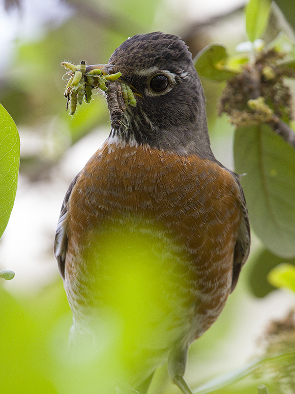 I count anywhere from 12 to 15 caterpillars in the robin's mouth.  Photograph courtesy Phil Plank.