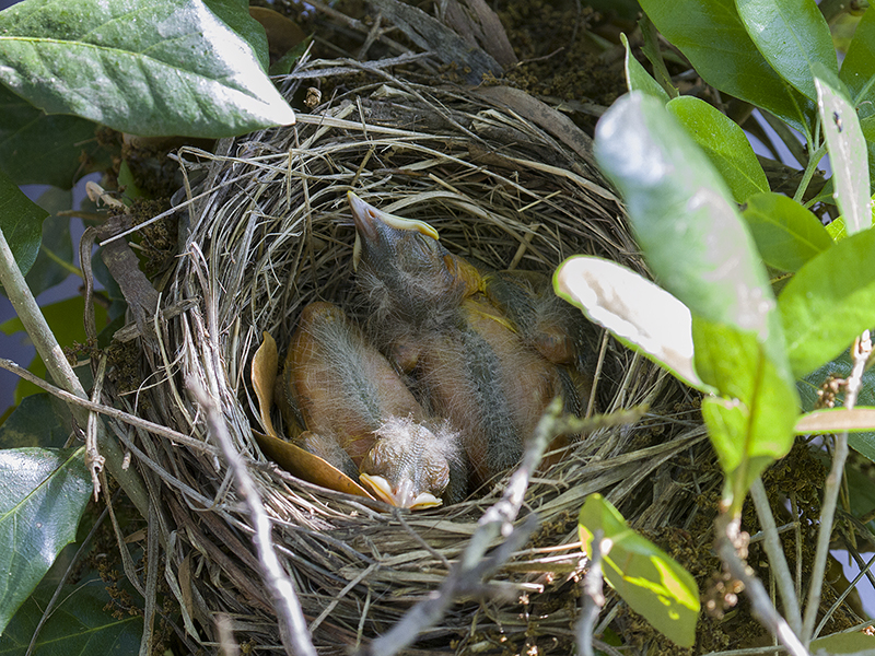 Peacefully sleeping in the nest.  Photograph courtesy Phil Plank.
