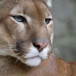 Mountain Lions in the Metroplex?