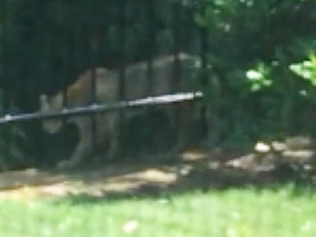 So what do you think, Mountain Lion or Bobcat?