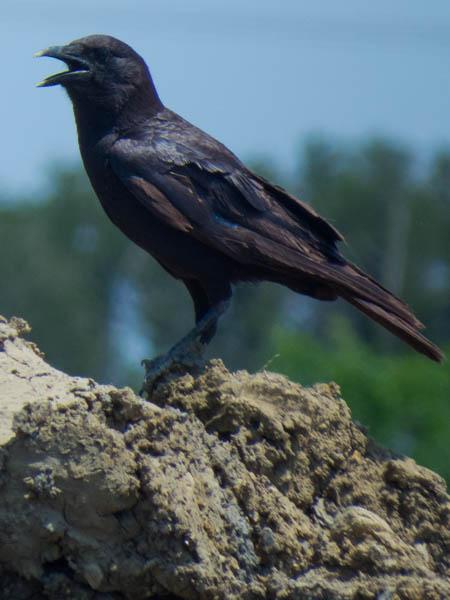 An American Crow.