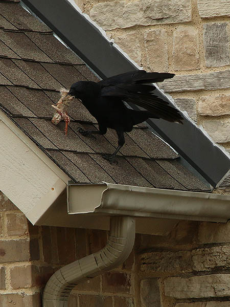 An American Crow making off with a rabbit's foot!