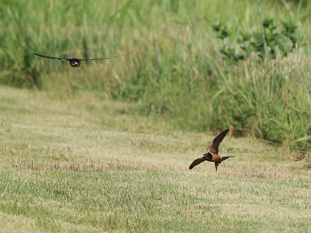 Barn Swallows feeding on mosquitos and the like.