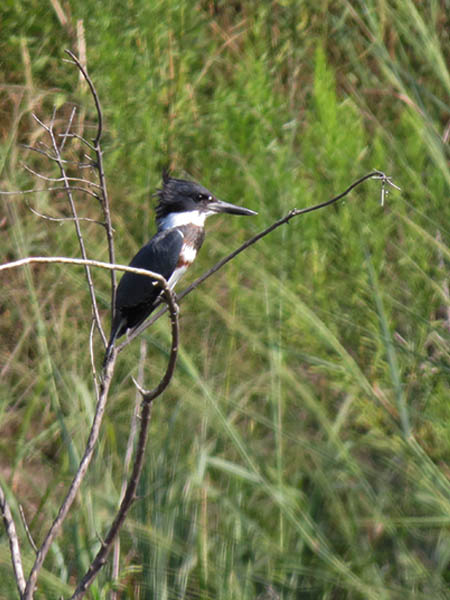 A female Belted Kingfisher.