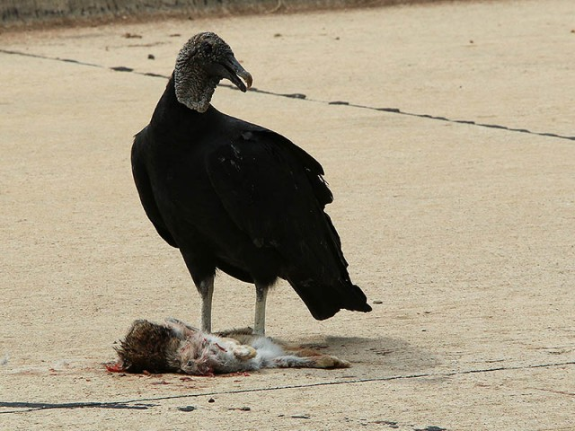 A Black Vulture feeding on a roadkill rabbit.