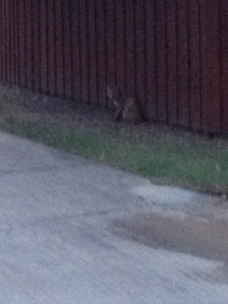 One of our many neighborhood Bobcats.  These guys work hard in the wee hours to control our rat and rabbit population.