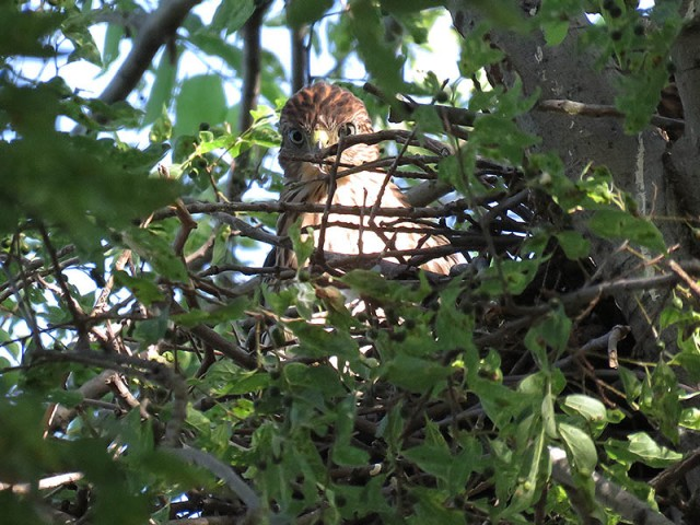 A juvenile Cooper's Hawk in the nest.