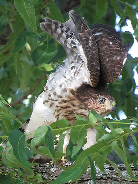 A young Cooper's Hawk preparing to take flight.