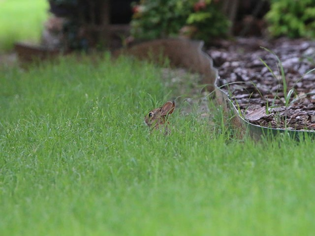 A juvenile cottontail, just a few days out of the nest.