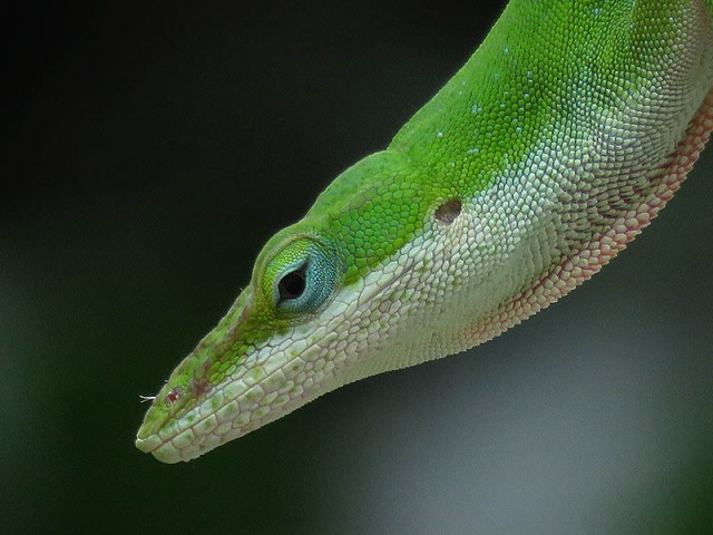A male Green Anole.