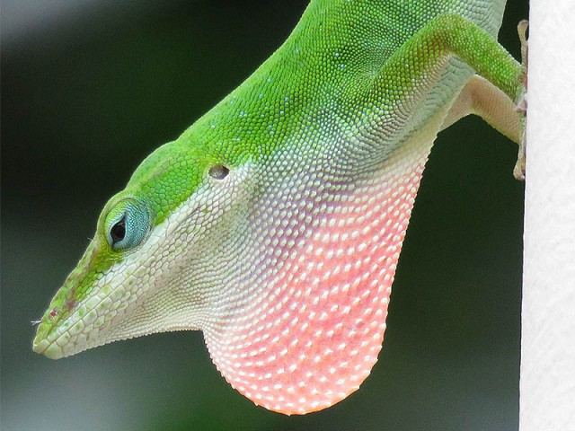 The same male anole displaying for a nearby female.