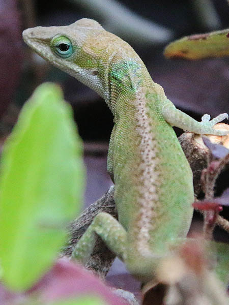 A female Green Anole, as evidenced by the stripe running down the center of her back.