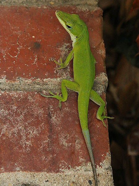 A Green Anole with a recent regenerated tail.  Can you see the division between old and new?