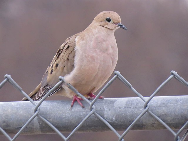 An adult Mourning Dove.