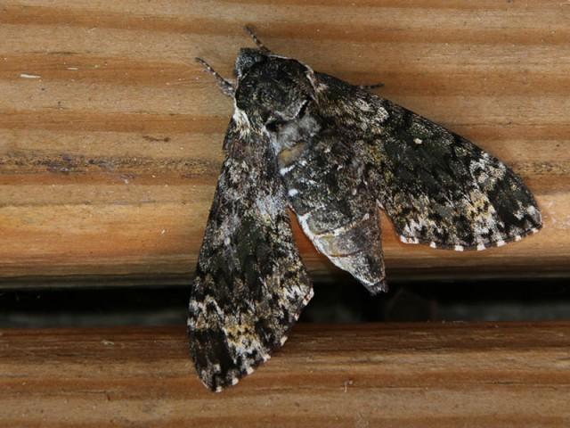 A Pawpaw Sphinx Moth.