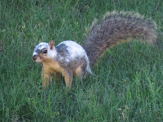 A piebald Fox Squirrel.