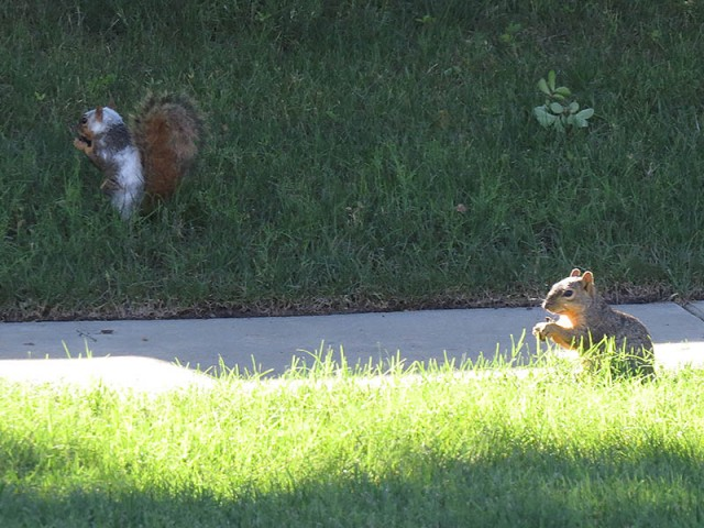 A piebald Fox Squirrel eating with a friend.