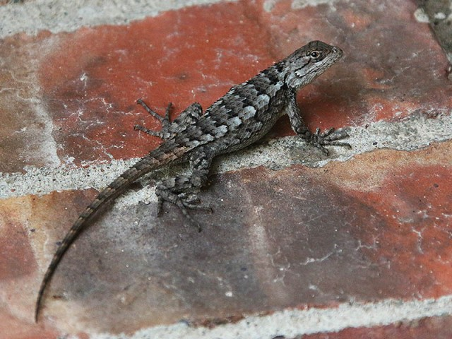 A Texas Spiny Lizard.