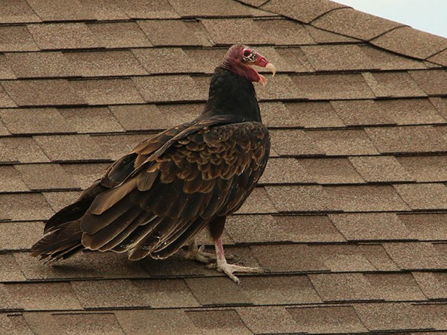 A Turkey Vulture watching from a nearby roof top.