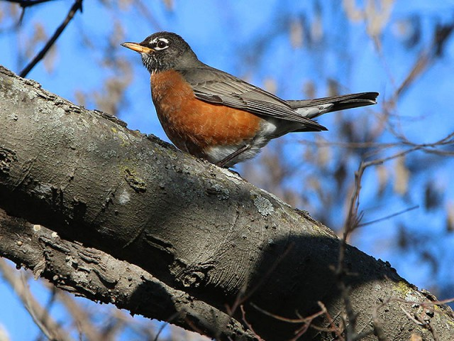 A male American Robin.
