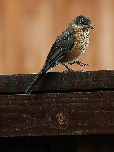 A juvenile American Robin.