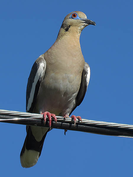 A White-winged Dove.