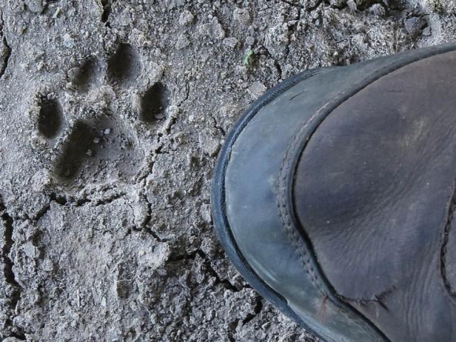A Bobcat track.