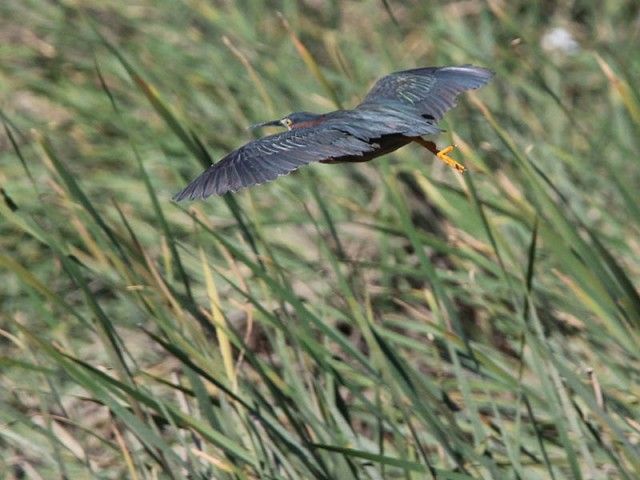 A Green Heron flyby