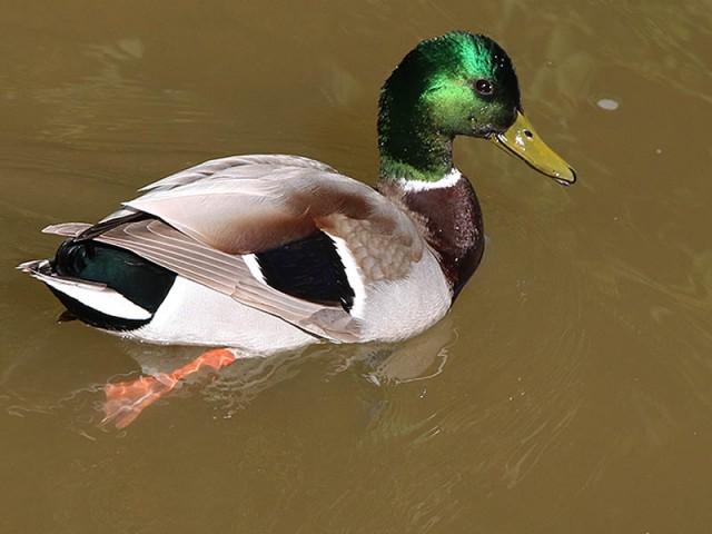 A male Mallard