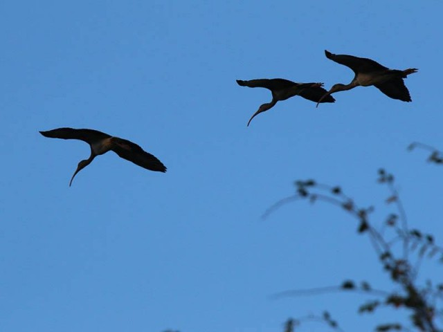 Three juvenile White Ibises returning just before dusk.