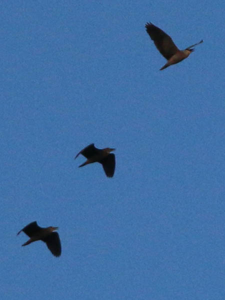 A trio of Black-crowned Night Herons flying high over the rookery.  One adult followed by two juveniles.