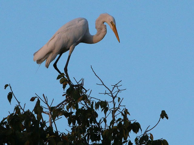 An adult Great Egret at the top of the tree canopy.