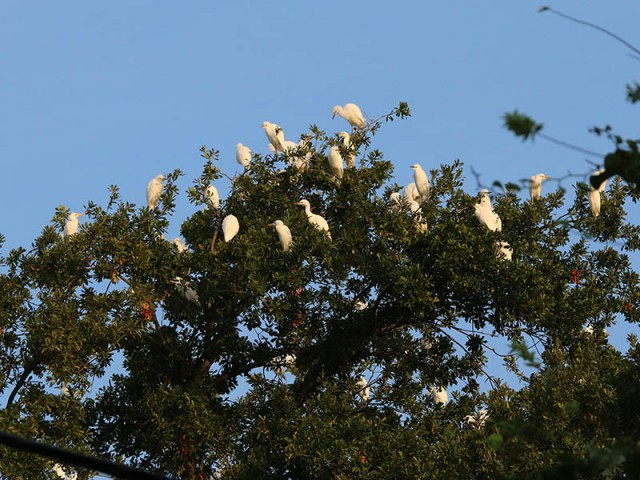 Egrets staging in the backyard of an adjacent residence.