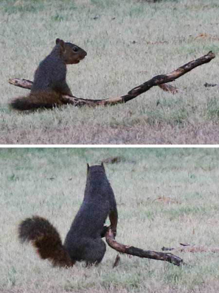 A Fox Squirrel playing with a stick.
