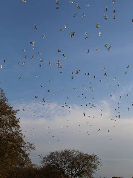 At one piont during my visit something (a feral cat?) spooked the rookery and hundreds of bird took to the air.