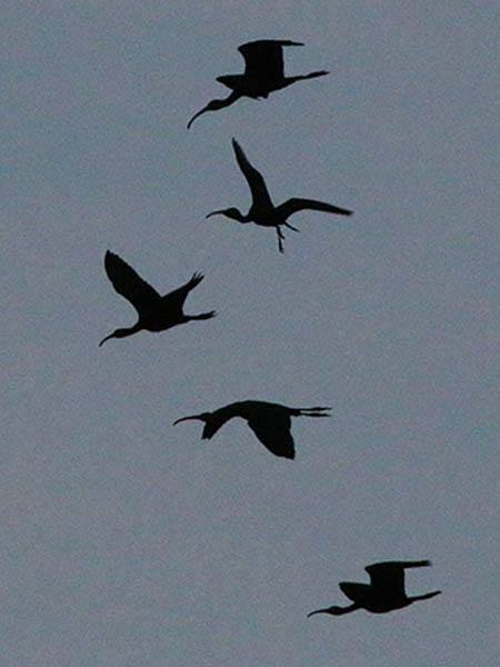 Five juvenile White Ibises leaving the rookery at predawn.  They were seen heading east toward the Elm Fork of the Trinity River.