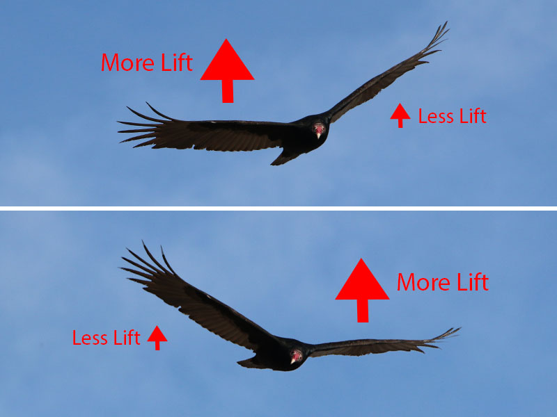 Diheral Wing Positioning on a Turkey Vulture.