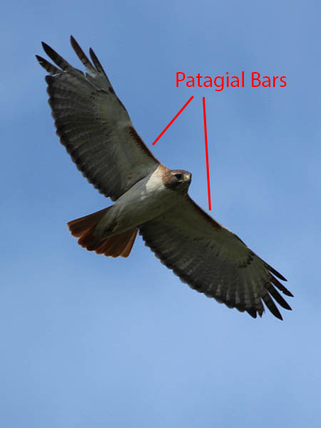 Red-tailed Hawk Showing Patagial Bars