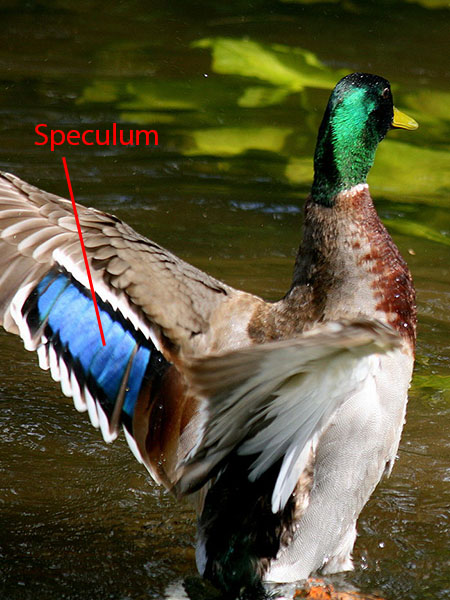 Speculum on a male Mallard