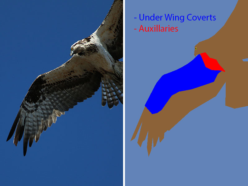 Under Wing Coverts and Auxillaries on an Osprey