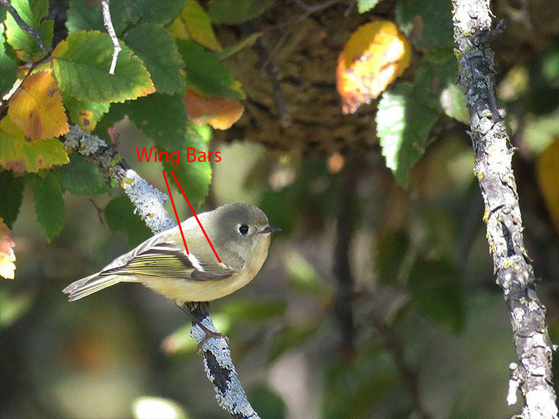 Wing Bars on a Ruby-crowned Kinglet