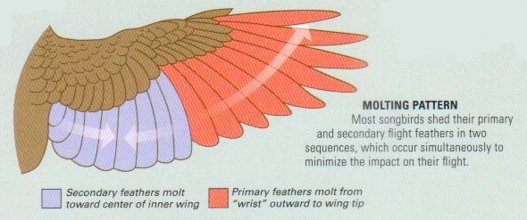 Typical Wing Feather Molt Pattern
