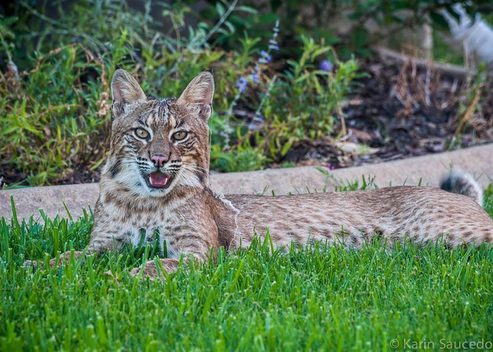 Backyard Bobcats - Karin Hargrave Saucedo