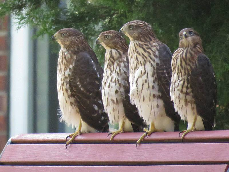 Fledgling Cooper's Hawks on a Park Bench