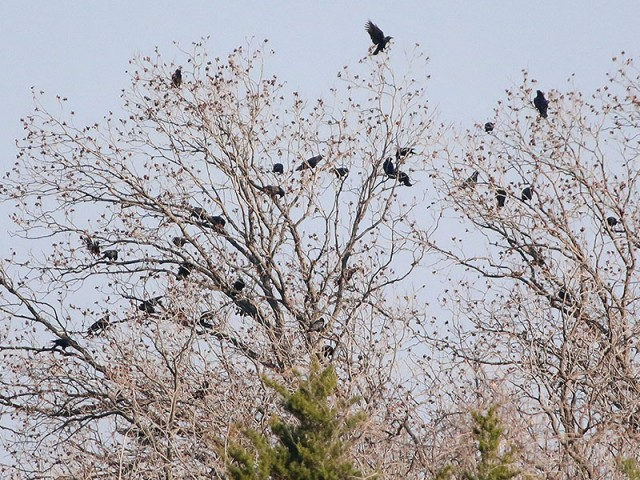 An unusually large congregation of American Crows.