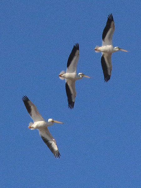 American White Pelican soaring high above Coppell Nature Park.