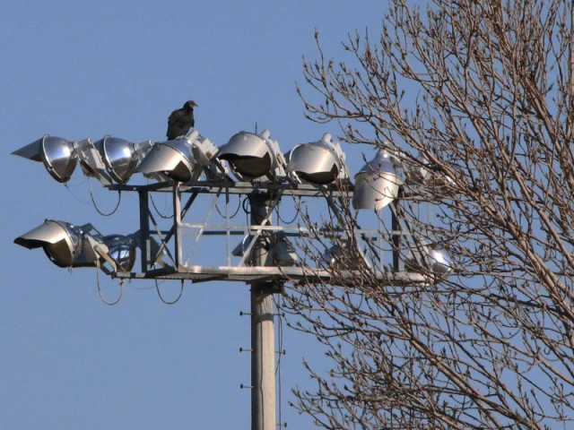 A lone Black Vulture perched atop a ball park light.