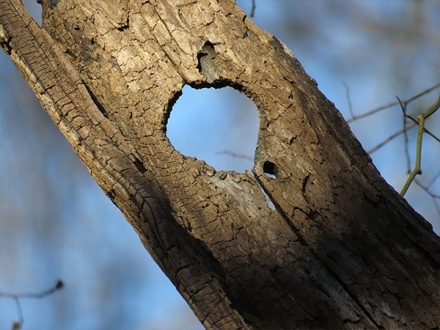All that remains of an old woodpecker hole.  The rest of the tree has rotted away.