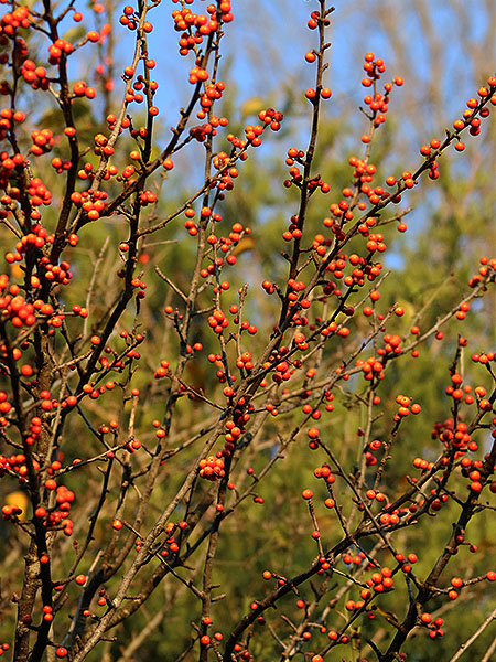 Red winter berries.