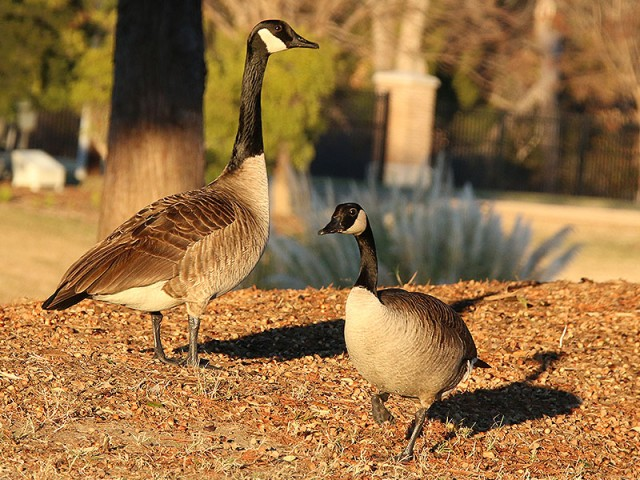 Canada Geese living on The Container Store campus.